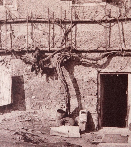 Historical photo of oldest vine